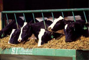 cows-526771